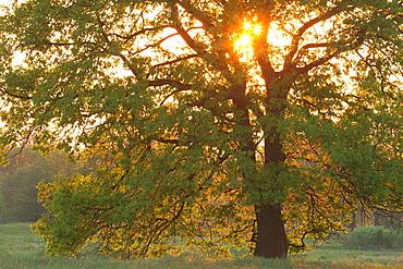 Early spring  Oak tree