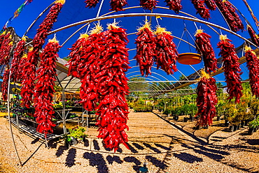 Ristras drying red chile pepper pods, Jericho Nursery, Albuquerque, New Mexico USA