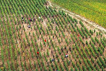 Grape harvest at Cote des Bars vineyard, Aube department, Champagne-Ardenne region, France, Europe