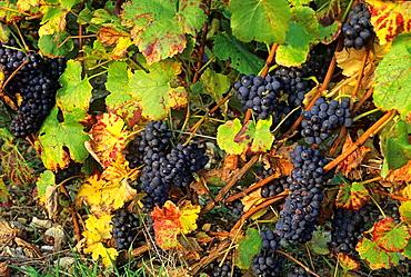 Pinot grape, vineyards, Aube department, Champagne-Ardenne region, France, Europe