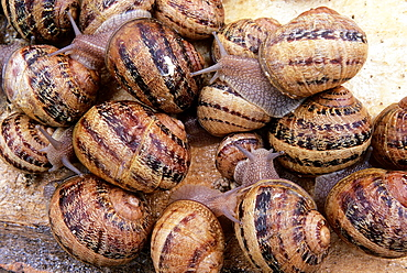 Snails, Helix Aspersa Maxima, Aube department, Champagne-Ardenne region, France, Europe