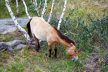 Mongolia, Tov province, Hustain Nuruu National Park Khustai, Przewalski¥s wild horses Equus caballus przewalskii