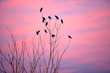 Corvus corax on trees  Evening in the Estany d¥Ivars, Vila-sana, Lleida, Spain