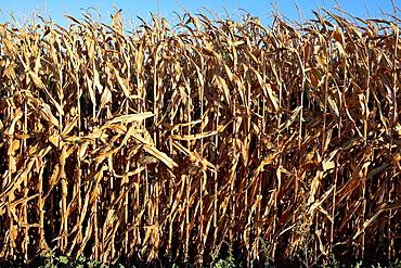 Maize field, Lleida, Spain
