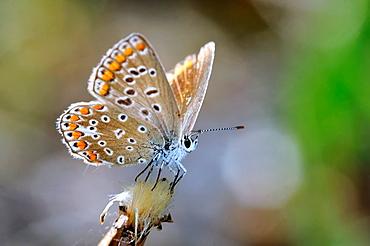 Common Blue, Polyommatus icarus, Greece