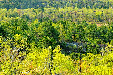 Fresh spring leaves of birch and aspen trees with red pines , Greater Sudbury, Ontario, Canada