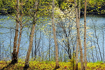 Flowering pincherry at the edge of Elbow Lake, Wanup, Ontario, Canada