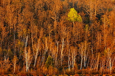 Birch and aspen trees with emerging leaves on a hillside, Greater Sudbury Lively, Ontario, Canada