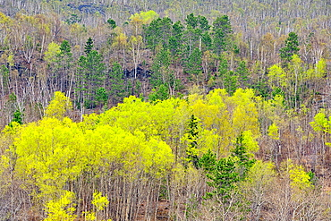 Spring forest with spruce, aspen and birch, Greater Sudbury, Ontario, Canada