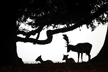 Fallow Deer Cervus dama Does and buck