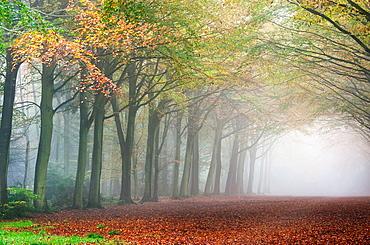 Woodland colour in Autumn fog October Norfolk UK