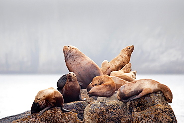 Steller sea lion, Eumetopias jubatus, also known as the northern sea lion and Steller's sea lion, National Park of Kenai Fjords, Alaska, USA