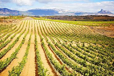 Vineyards Rioja alavesa wine route Alava Basque country Spain