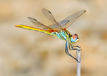 Female Red-veined Darter, Sympetrum fonscolombii, Crete
