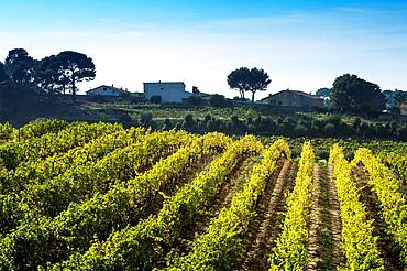 Europe, France, Bouche-du-Rhone, Cassis Vineyard Domaine du Bagnol