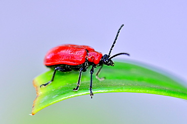 The scarlet lily beetle Lilioceris lilii, or red, leaf lily beetle, Crete