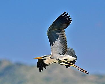 Grey Heron, Ardea cinerea, Crete