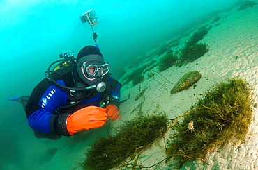 Gammarus Eulimnogammarus verrucosus lake Baikal, Siberia, Russia, island Olkhon