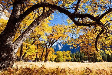 Yosemite Valley, Yosemite National Park, California, USA, El Capitan Meadow, Sentinel Rock in distance, black oaks Quercus kelloggii, November