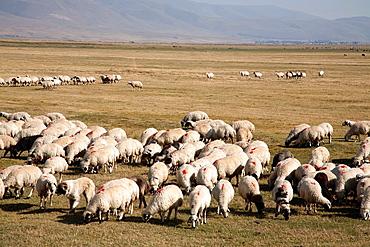 flock of sheep, highland to the west od erzurum, eastern anatolia, turkey, asia
