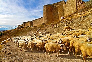 Flock sheep, near castle wall Uruena, Valladolid, Castile and Leon, Spain