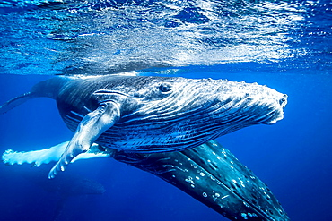 Humpback whales swimming underwater