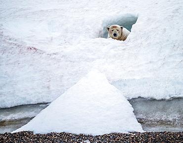 Polar bear Ursus maritimus in a small snow cave Greenland