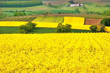 France-Poitou Charente- Charente- Rape field in the landscape near Angouleme.