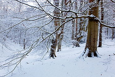 Beeches The lions mouth Felbrigg Norfolk UK in snow