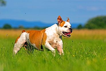 France, Bas Rhin, Obernai, English Bulldog.