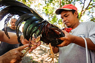 Setting the blades to the rooster's leg before a fight, Puerto Princesa, Palawan, Philippines