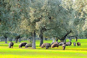 Iberian pigs in dehesa Badajoz province Extremaura Spain