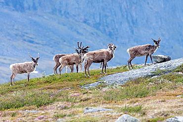 Herd of reindeer in mountain area of swedish lapland on the track of kungsleden