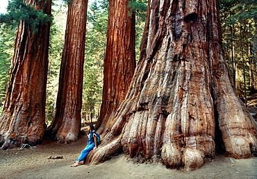 Sequoias forest, Mariposa Grove, Yosemite National Park, California, USA