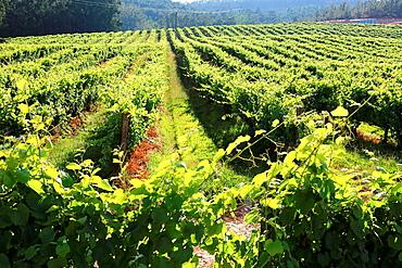 Albarino vineyards, O Rosal, Pontevedra, Galicia, Spain.