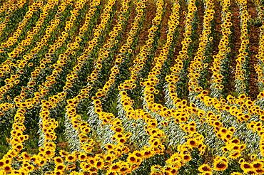 France. Midi Pyrennees. Gers. Pilgrimage way to Santiago de Compostela Sunflowers near Manciet.