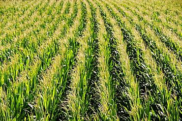Turkey. corn field.