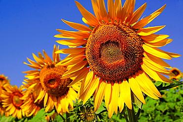 Turkey. sunflowers at the Gallipolli area.