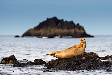 Seal resting on rock in water