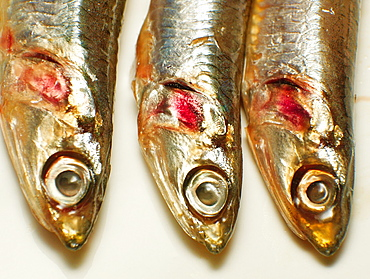 Cantabrian anchovies Spain.