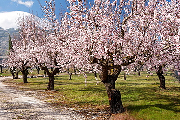Almond tree plantation, Alicante, Costa Blanca, Spain