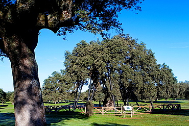 The tree called 'La Terrona' is more than 800 years old Probably the oldest holm oak Quercus ilex in the world Zarza de Montanchez Caceres, Extremadura Spain