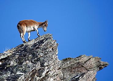 Spanish ibex Capra pyrenaica Sierra Nevada Spain.