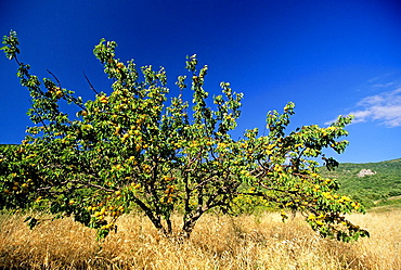 apricot tree, Drome department, region of Rhone-Alpes, France, Europe