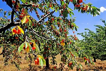 cherry trees, Drome department, region of Rhone-Alpes, France, Europe