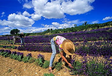 Lavandula angustifolia manual harvesting for bunch at Ferrassieres, Drome department, region of Rhone-Alpes, France, Europe