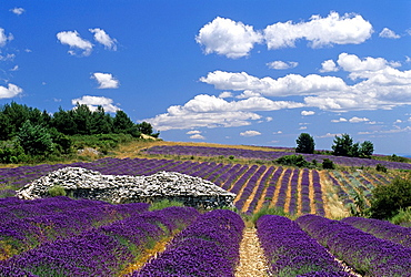 dry stone hut called borie in a lavender field, Ferrassieres, Drome department, region of Rhone-Alpes, France, Europe