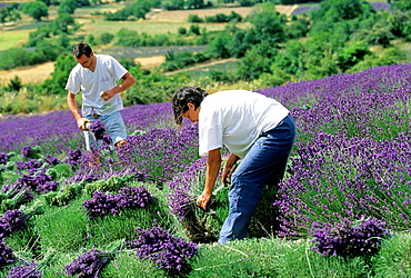 Lavandula angustifolia manual harvesting for bunch at Mevouillon, Drome department, region of Rhone-Alpes, France, Europe