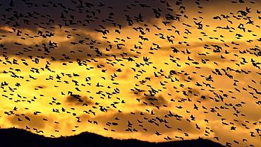 Starlings, Sturnus vulgaris, Greece