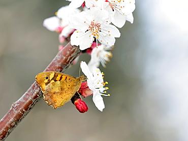 Speckled Wood Pararge aegeriaon apricot tree Prunus armeniaca, Crete